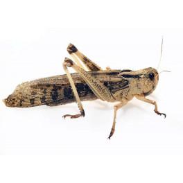 100 CRIQUET MIGRATEUR ADULTE (Locusta migratoria)